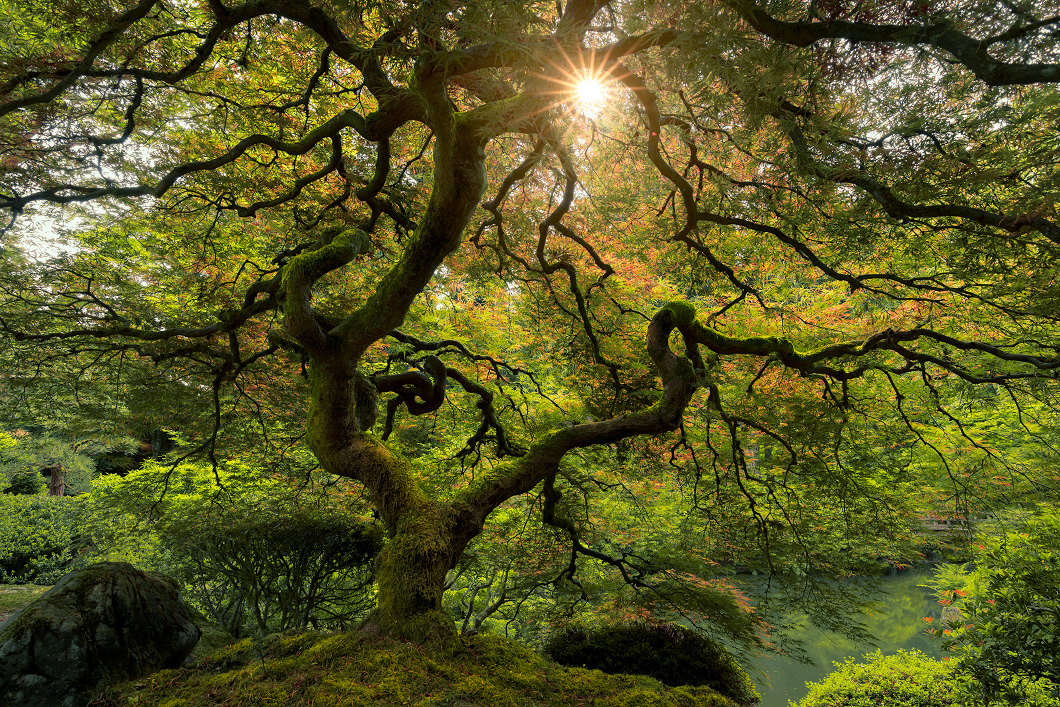 A fine art photograph of the japanese maple tree in the portland japanese garden in Oregon, similar to Peter Lik's image by Bryce Mironuck