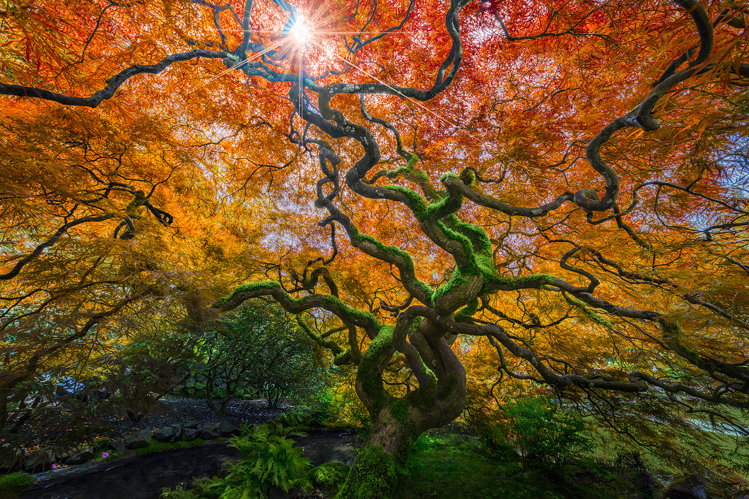 A fine art nature photograph taken of a Japanese maple tree in Butchardt gardens on Vancouver Island by Bryce Mironuck