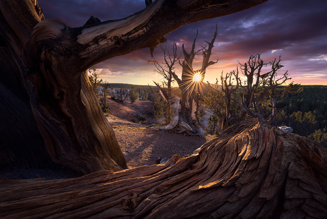 A fine art nature photograph taken at sunset in a forest of bristlecone pine trees by Bryce Mironuck
