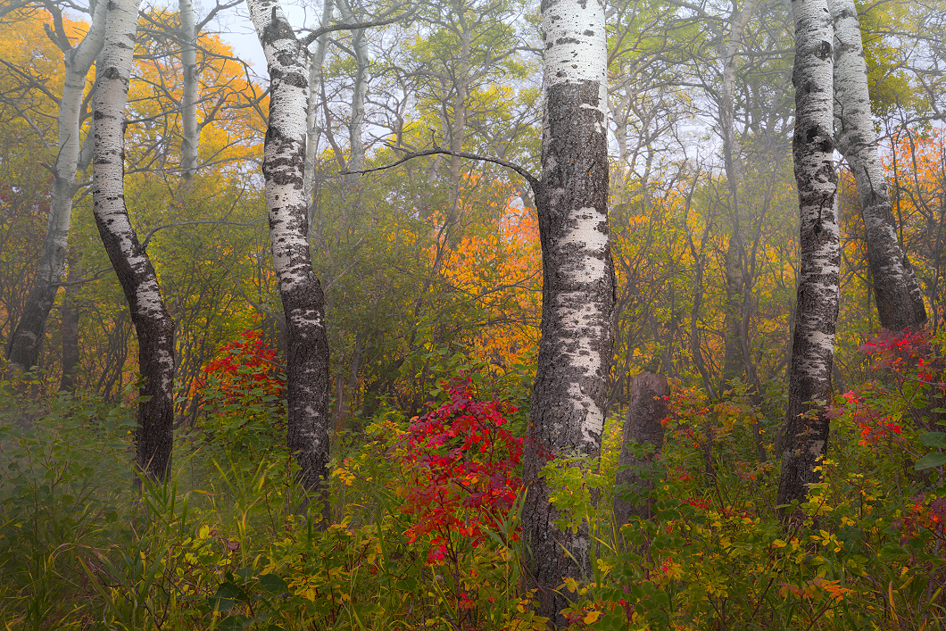 A fine art nature photograph taken of an aspen grove in fog in Saskatchewan by Bryce Mironuck