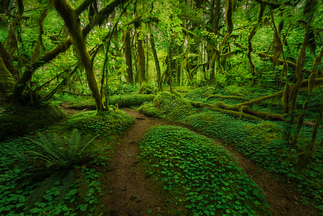 A fine art nature photograph of a forest scene taken in the hoh rainforest, Washington by Bryce Mironuck