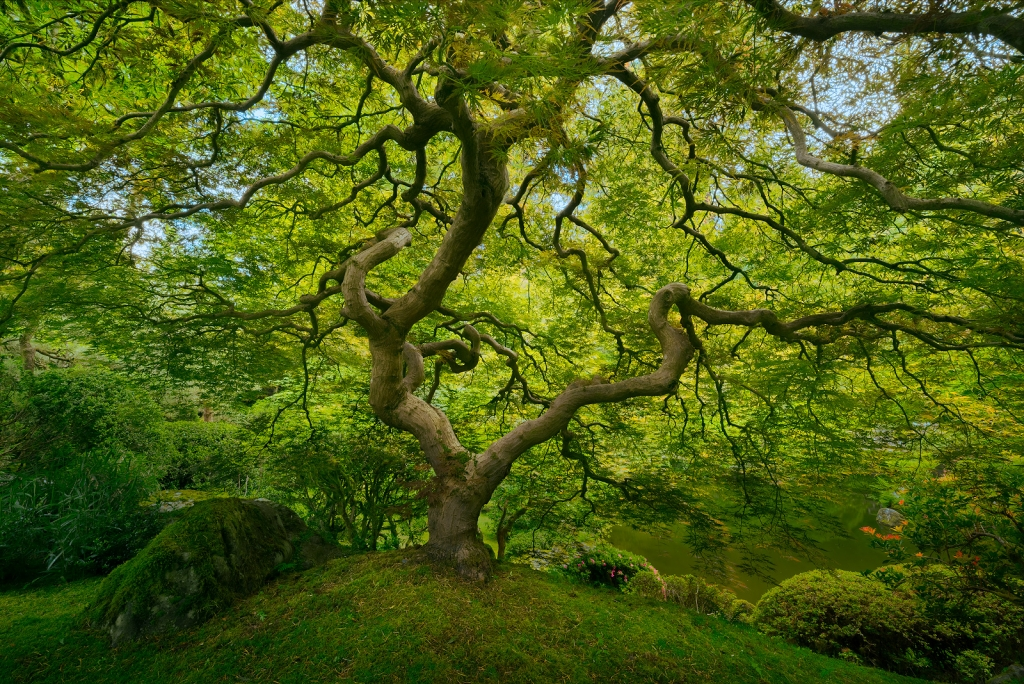 A fine art nature photograph of the japanese maple tree in the portland japanese garden in Oregon, similar to Peter Lik's image by Bryce Mironuck