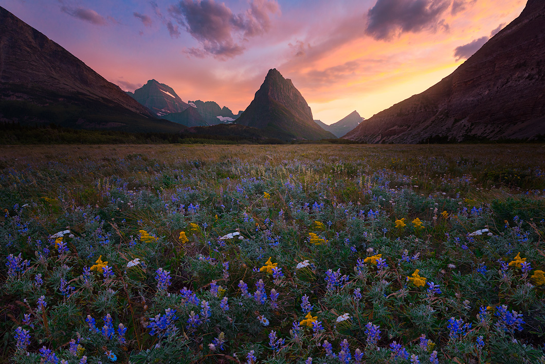 A fine art nature photograph of a wildflower bloom at sunset with the mountains in the background in Glacier National Park, Montana by Bryce Mironuck