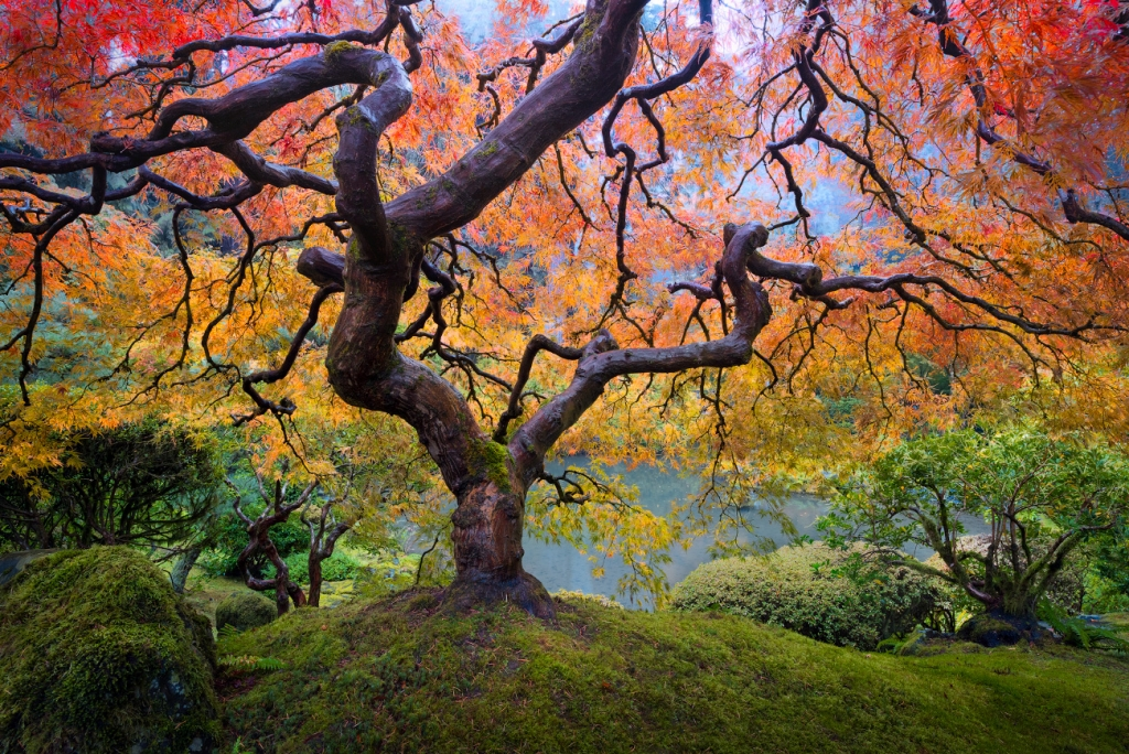 A fine art photograph of the japanese maple tree in the portland japanese garden in Oregon in fall color. Similar to Peter Lik's image by Bryce Mironuck