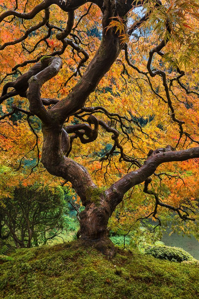 A fine art photograph of the japanese maple tree in the portland japanese garden in Oregon in fall color. Similar to Peter Lik's Tree of Life image by Bryce Mironuck