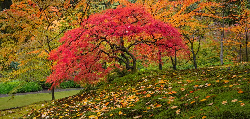 A fine art photograph of a Japanese maple tree in the Portland Oregon garden - Similar to the work of Peter Lik