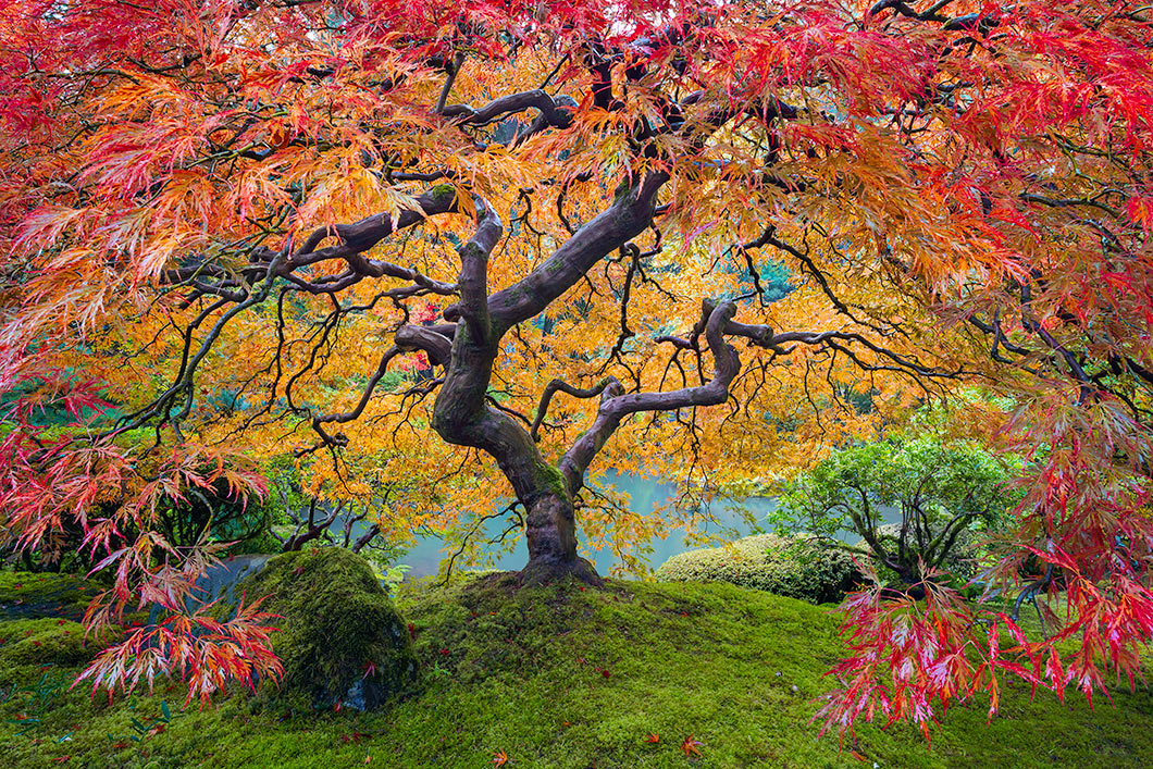 A fine art nature photograph of the japanese maple tree in the portland japanese garden in Oregon in fall color. Similar to Peter Lik's image by Bryce Mironuck